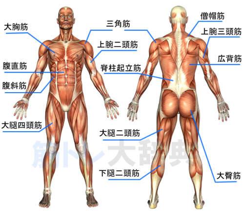肌肉解剖.jpg